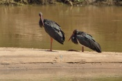 A pair of resting Black Storks on the banks of the Sabi River in the Kruger Park. This is only only place in SA that I have seen these birds.