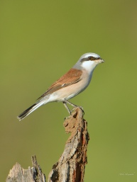 A cleaner shot of a Red-backed Shrike in Mashatu. They are common but skittish.