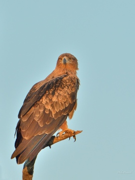 A Tawny Eagle surveying the savanna late one afternoon in Mashatu.