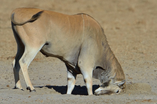 This Eland bull was pushing his horns into the moist sand around a waterhole in Etosha. I have never seen this behaviour before but it could be to relieve dry itchy skin at the base of his horns.