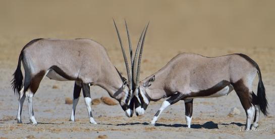 These two Gemsbok were sparing close to a waterhole in Etosha.