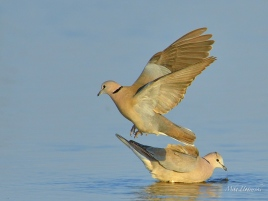 A pair of Cape Turtle-doves drinking at a waterhole in Etosha in the afternoon sun.
