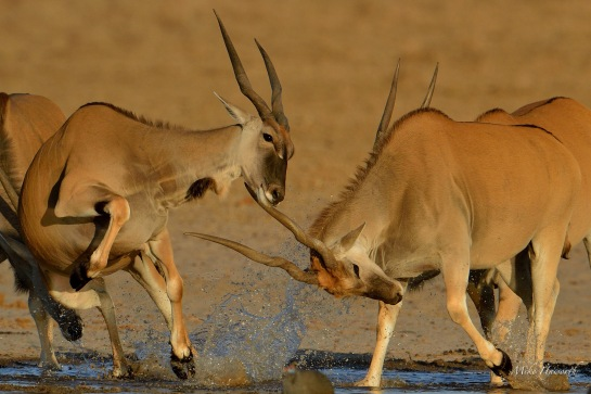 One gal decides the other is too close. Those horns are sharp so a quick dodge is a good idea.