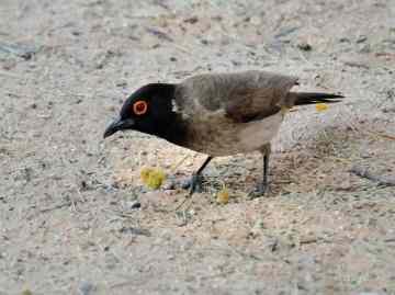 Red-eyed Bulbul in the Kalagadigadi