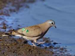 Emerald Spotted Wood-dove