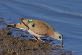 Emerald Spotted Wood-dove drinkling from a waterhole in Etosha national Park