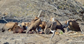 White-backed Vultures squabbling over a animal carcass in Mashatu Game Reserve