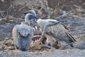 White-backed Vultures feeding on a well decomposed Impala carcass in a sand river in the Mashatu Game Reserve