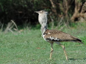Male Kori Bustard in Mashatu