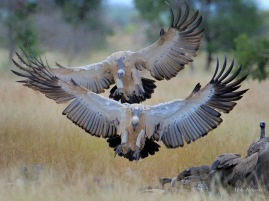 A pair of Cape Vultures flying into a join the squabbling horde of vultures on an Elephant carcass near Satara in the Kruger Park