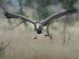 A White-backed Vulture flying into join the squabbling horde of mixed vultures on an Elephant carcass near Satara in the Kruger Park