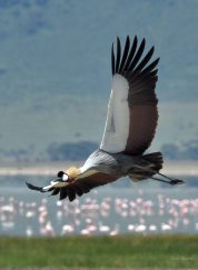 Grey Crowned Crane with Lake Magadi in the background in the Ngorongoro crater