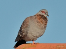 Rock now called a Speckled Pigeon at Qwantini at Sterkfontein dam near the Drakensberg.
