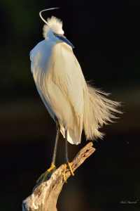 Little Egret all dressed up in breeding feathers