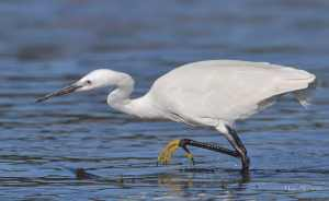The Little Egret's characteristic yellow feet