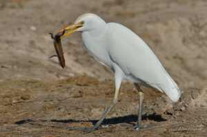 Cattle Egret with an afternoon snack