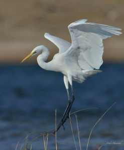 Characteristic 'S' shape to the Great White Egret's neck