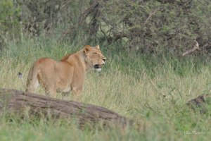 Lioness in the lookout for a meal