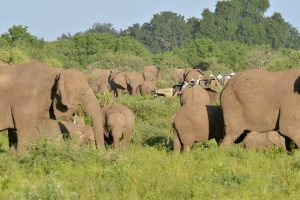 Visitors were able to move quietly through this Elephant herd over three hundred strong