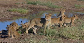 Just after the floods along the Limpopo there was plenty of water for the lion cubs to drink in Mashatu