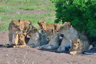 There were two lioness with eleven cubs to feed in Mashatu