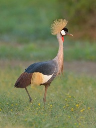 Beautiful Crowned Crane in Mashatu - taken in early evening on a high iso
