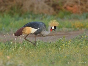 A single Crowned Crane in Mashatu drawn by the unusual flood conditions in early 2013