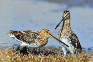 A pair of  African Snipe basking in the sun at Marievale.