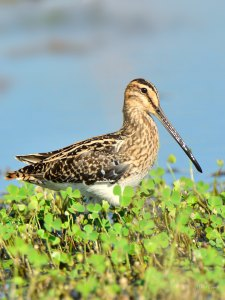 The African Snipe can usually be found around marshes and wetlands and is relatively common.