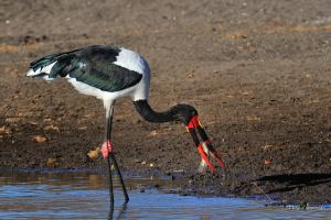 This receding pond was paradise for a pair of Saddle-Billed Storks. This female was tucking in