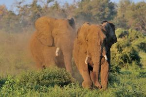 This huge bull in musth was not prepared to let any other bull get close to his females