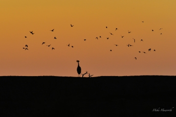 Early evening silhouette of a Crowned Crane in Mashatu