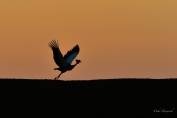 In the early evening, a Crowned Crane takes off from the dam wall next to the vlei in Mashatu
