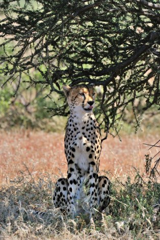 Lookout in the shade for this Cheetah watching a herd of Impala slowly wandering towards him in Mashatu