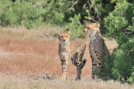 Watchful and weary - these light weight speedsters need to be with lion and hyaena all around in Mashatu