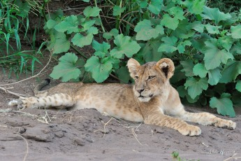 Lion cub surveying the scene from its cool vantage point on the sand bank alongside a river in Mashatu