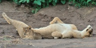 A relaxed lioness lying on the cool sand in the shade in a Mashatu river bed, accompanied by one of her small cubs