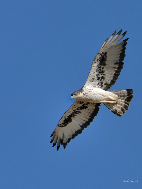 African Hawk-Eagle soaring over the Chobe Rivber. This is one aggressive hunter. A big raptor with distinctive markings.