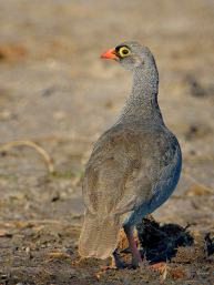 Adult Red-billed Francolin seen along the banks of the Chobe River. I haven't seen this species in SA.