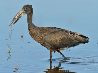 This Openbill Stork was foraging in the shallows of the Chobe River for snails and molluscs.