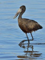 May, there were only a few Openbill Storks wading along the edge of the Chobe River
