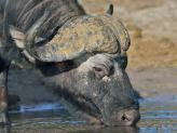 An 'old dagga boy', one of two Buffalo bulls stopped to have a drink from the Chobe River.