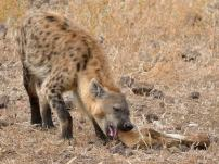 Young male Hyaena crushing an old dry Elephant bone