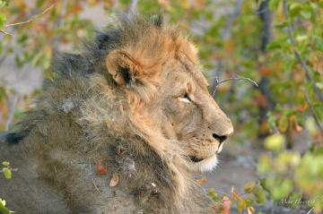 Preparing for his nightly territory patrol in Mashatu