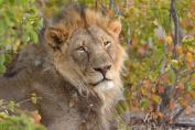 Magnificent large male Lion in Mashatu