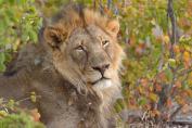 Magnificent large male Lion in Mashatu