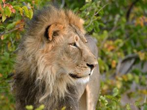 One of pride males who were out patrolling their territory in Mashatu