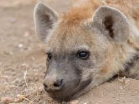 Young Hyaena taking a break on a scouting expedition