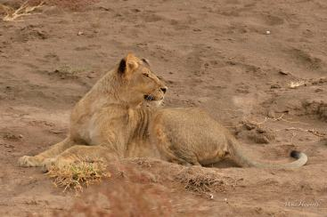 The first young :ion of the 11 to hear the two returning Lionesses in Mashatu.