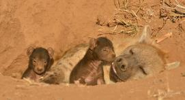 Hyaena mum brings her three pups out in the late afternoon sun in Mashatu